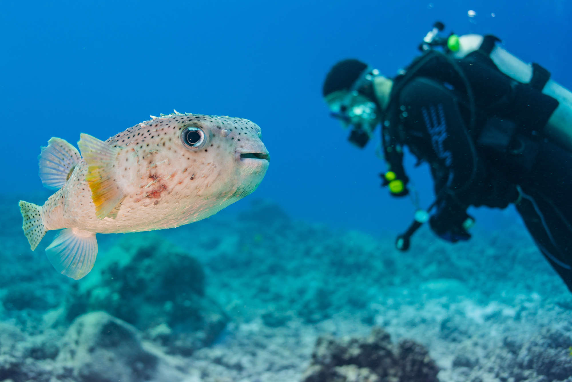Porcupine fish with scuba diver
